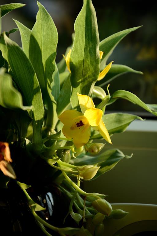 Meine Orchideensammlung Dsc_2216