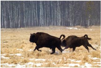 Nature d'un autre temps au Belarus Bisons10