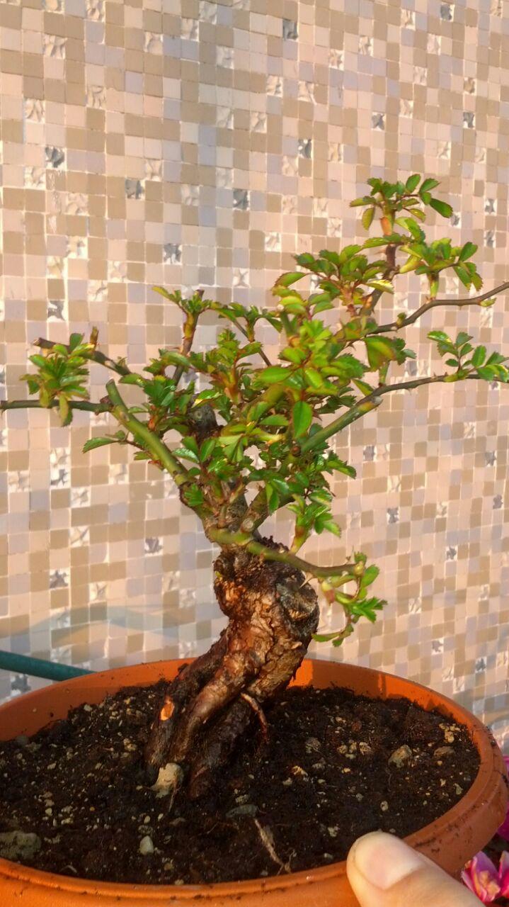 Bonsai di Rosa (?) 20150310