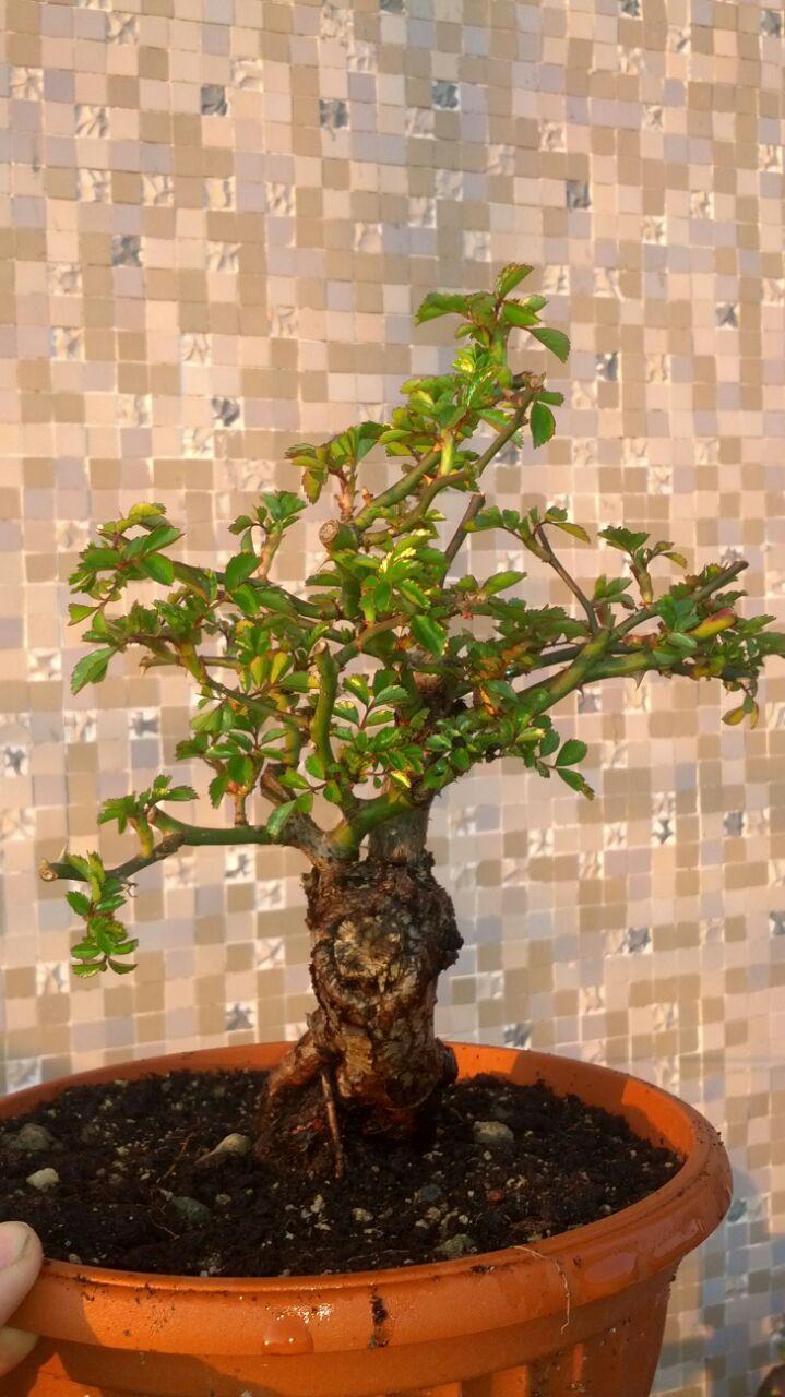 Bonsai di Rosa (?) At4vru10