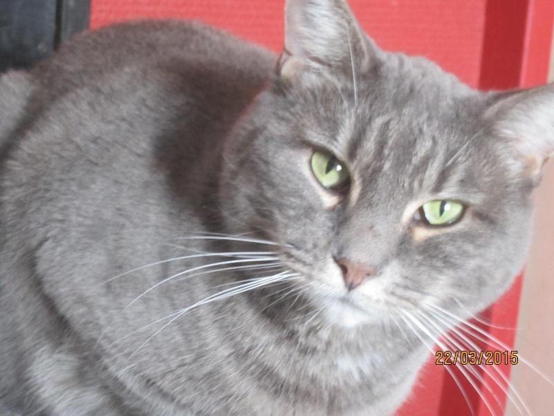 Freluge - grise tabby - Née en 2009, FIV + Img_2129