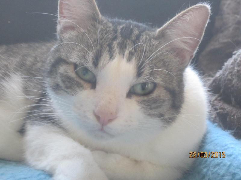 Patronus, tabby et blanc né en 2012 Img_2219