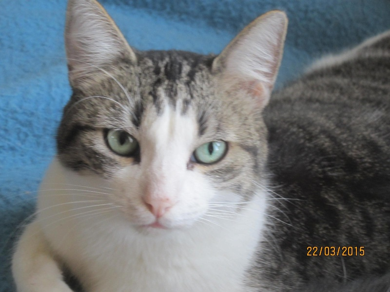 Patronus, tabby et blanc né en 2012 Img_2221