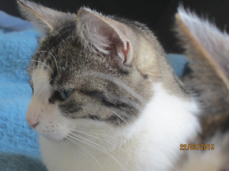 Patronus, tabby et blanc né en 2012 Img_2225