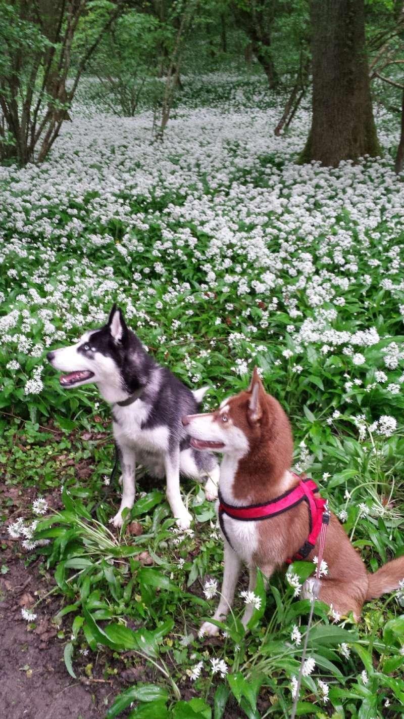 Max, Husky,noir et blanc 02/2014 très beau REFU91 ADOPTE 20150510