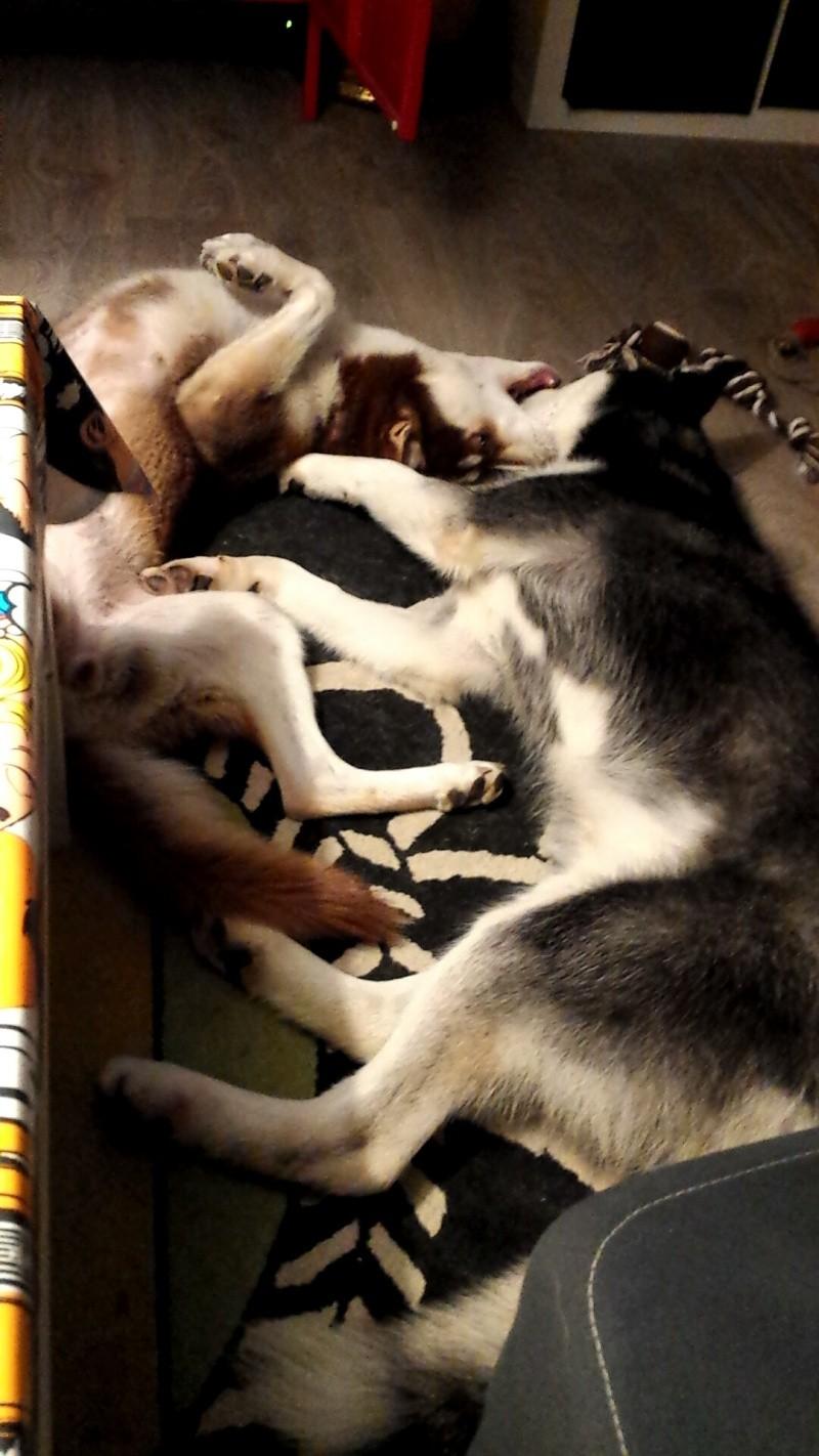 Max, Husky,noir et blanc 02/2014 très beau REFU91 ADOPTE Snapch10