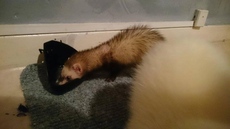[fa] Panda femelle zibeline 8 mois - fa Nicolas G - à adopter avec Speed 11079410