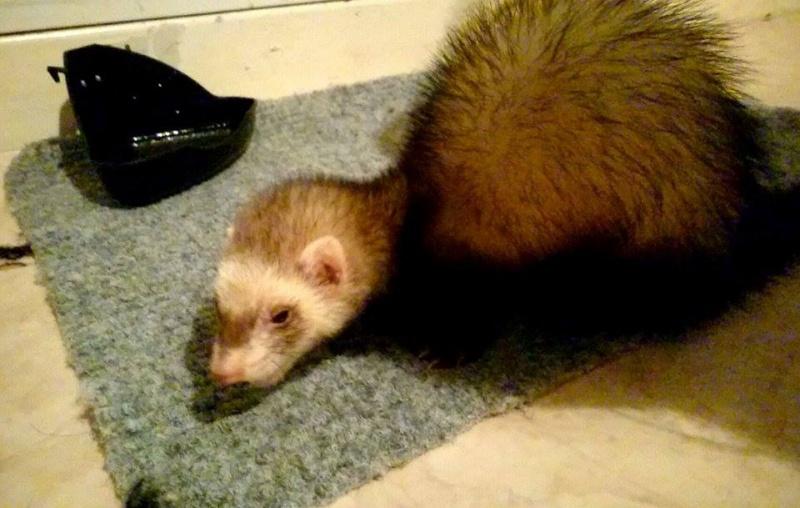 [fa] Panda femelle zibeline 8 mois - fa Nicolas G - à adopter avec Speed 11081710