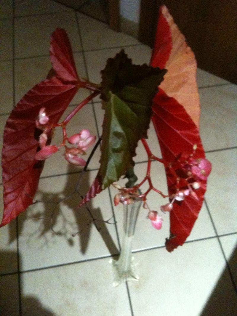 Begonia - Begonien Bild_111