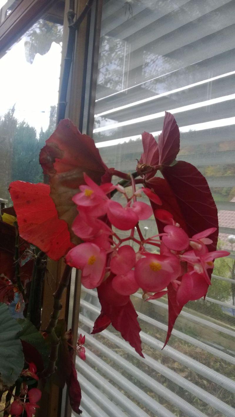Begonia - Begonien Bild_211