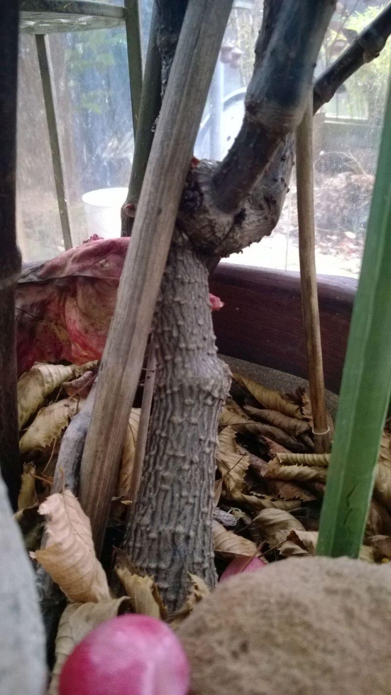 Begonia - Begonien Bild_311