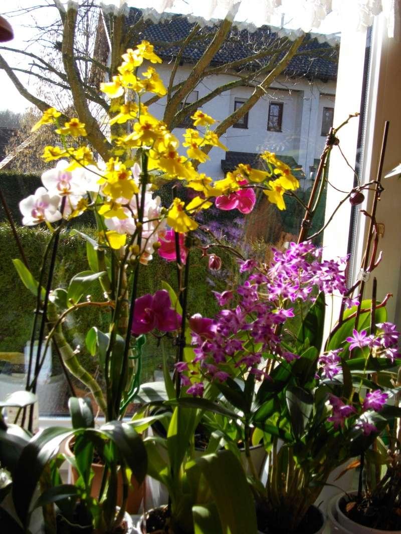 Meine Oncidium Orchid12