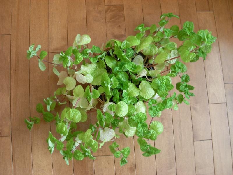 Pilea nummulariifolia : les feuilles blanchissent Dscn1611