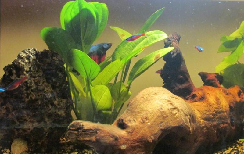 Mon premier Aquarium (54L Communautaire) Img_0710