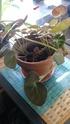 Bégonia x Erythrophylla 20150313