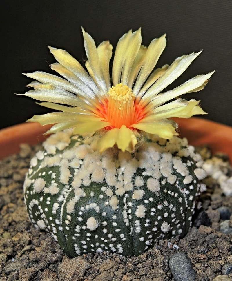 Astrophytum asterias cv. Hanazono  A_a_ha10