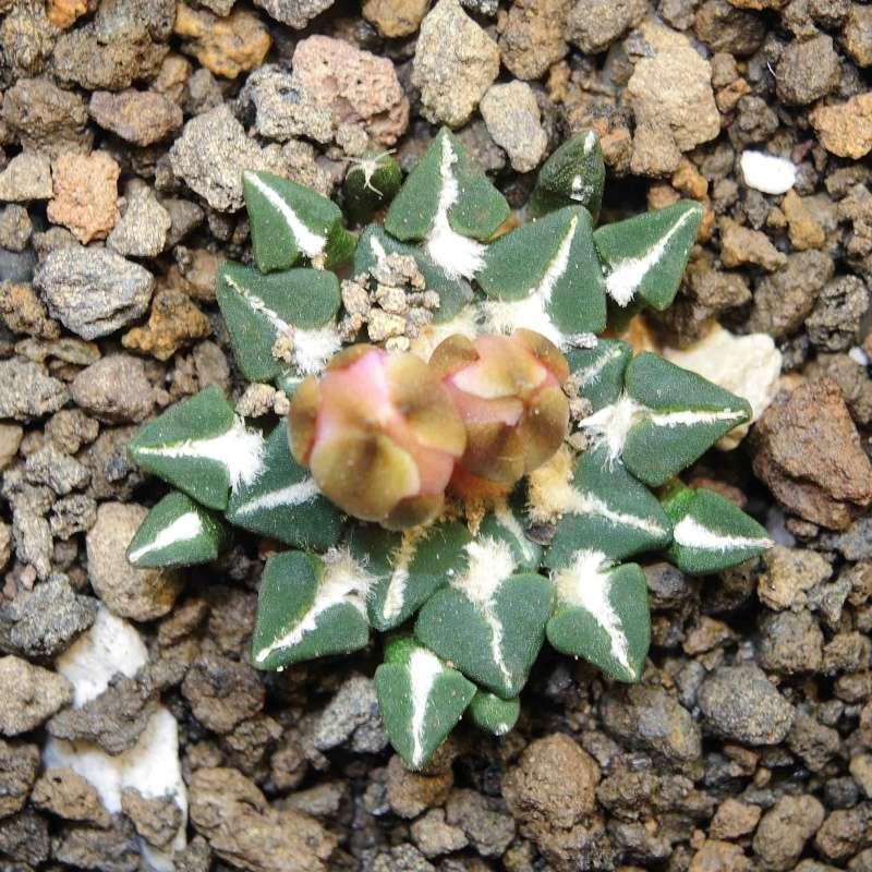 Ariocarpus  flower Arioca10