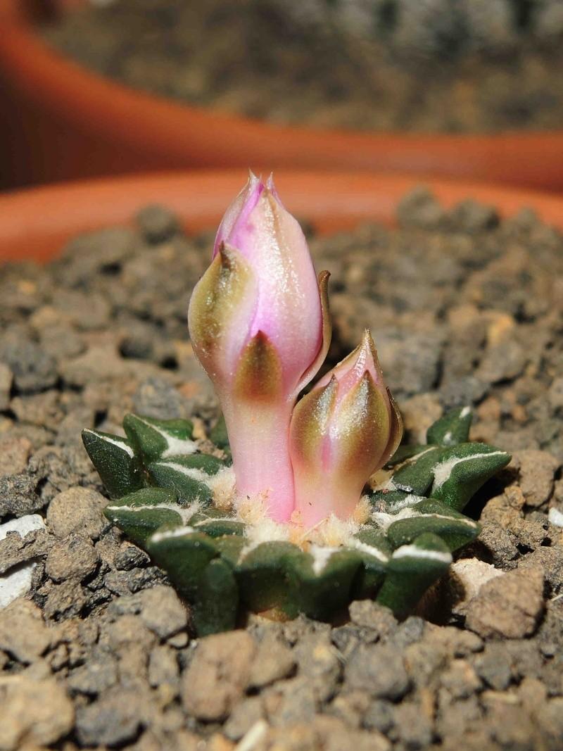 Ariocarpus  flower Arioca12