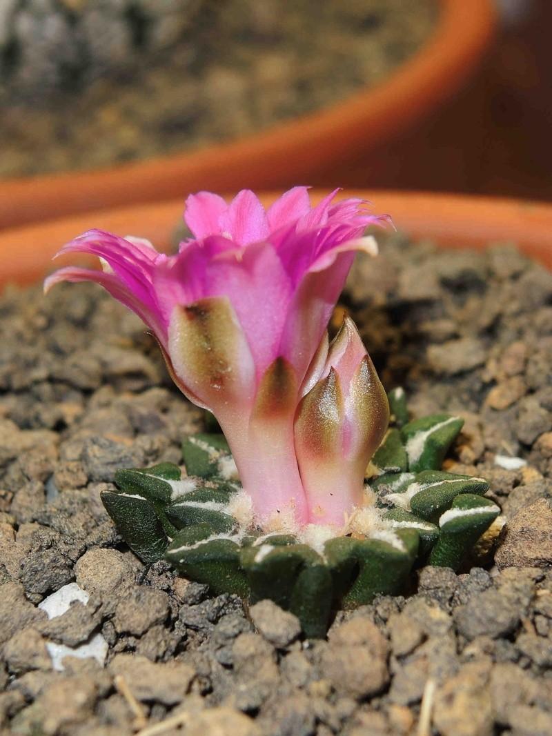 Ariocarpus  flower Arioca13