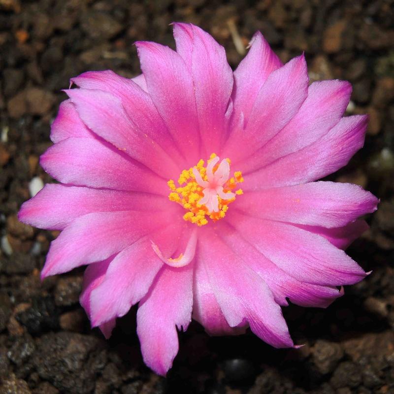 Ariocarpus  flower Arioca15