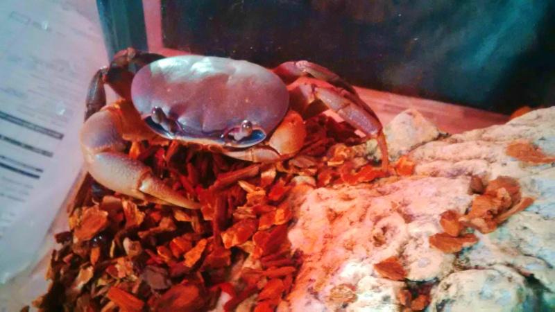Cardisoma armatum - Crabe Arc-en-Ciel - Page 6 10872911