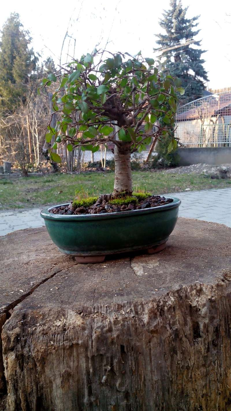Chinese Elm First Repotting Wiring Bonsai Now I Waiting For The Results And To See Which Branch Are Alive Is Not After Winter When Can Figure It Out Start Hokidachi