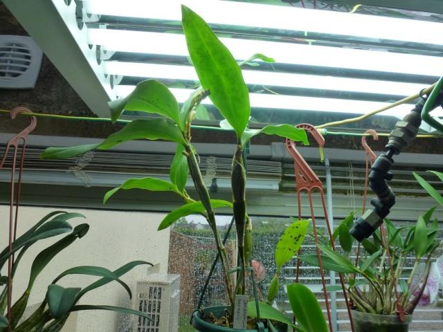 Visite de l'expo salon de l'orchidée à Veigné Dendro10