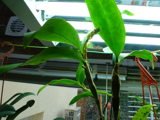 Visite de l'expo salon de l'orchidée à Veigné Dendro11