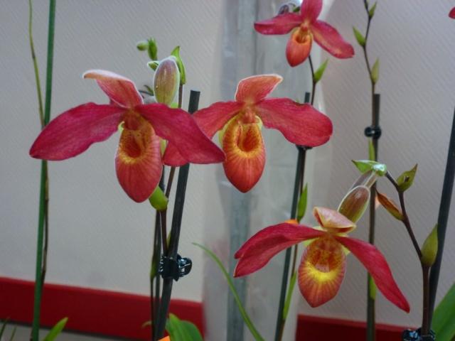 Visite de l'expo salon de l'orchidée à Veigné P1040622