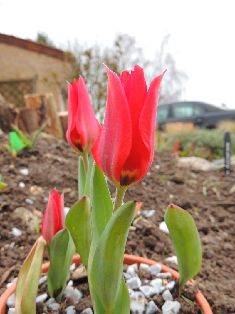 avril et son fil se découvre Tulipa12