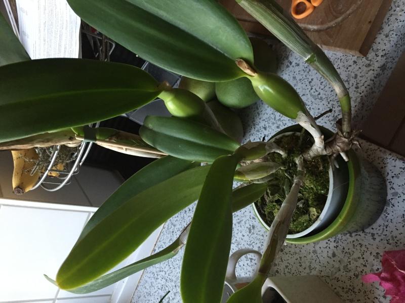 Neue Orchidee gekauft, welche Art? Img_3911