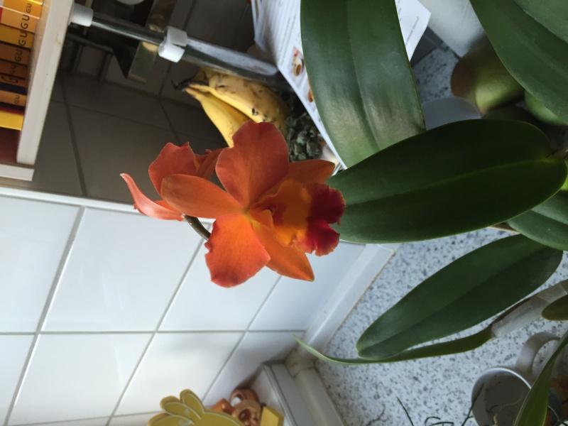 Neue Orchidee gekauft, welche Art? Img_3912