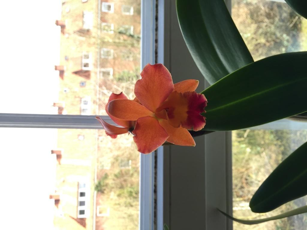 Neue Orchidee gekauft, welche Art? Img_4015