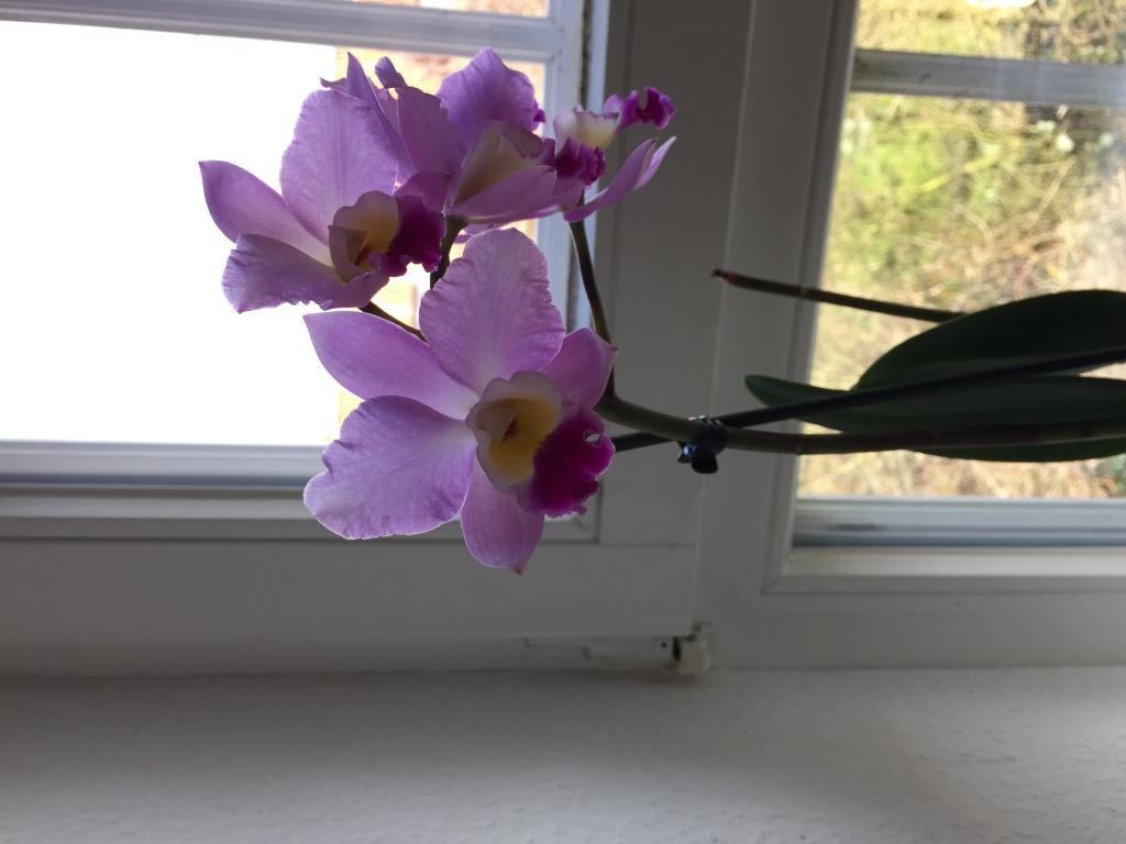 Neue Orchidee gekauft, welche Art? Img_4018