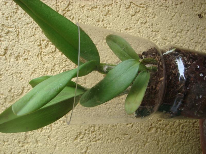 Orchidee in Glasvase 2 - Seite 25 Dsc00412