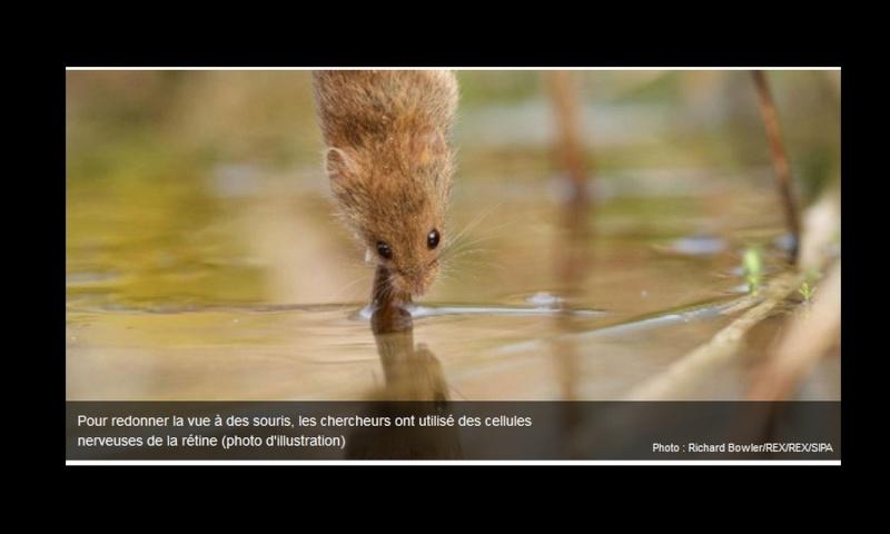 L'étude santé du jour : des souris aveugles recouvrent la vue Sans_393