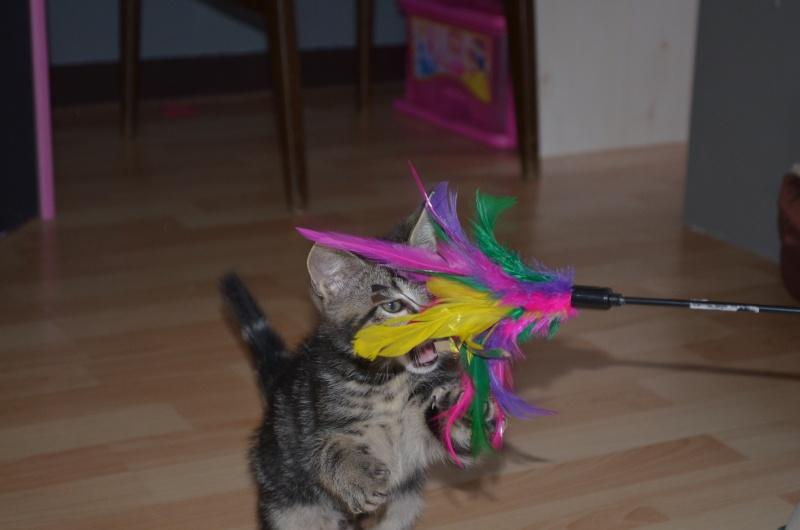 LOOPING, chaton mâle tigré, né le 20/03/2015 Dsc_0016