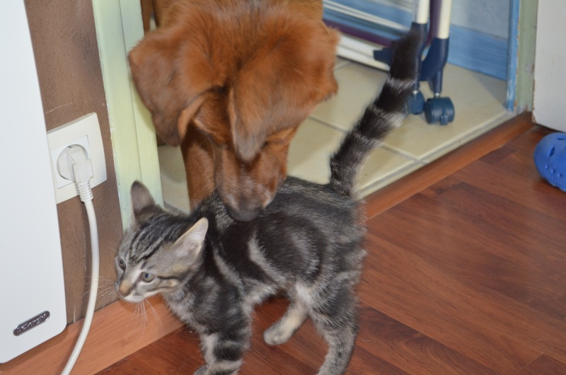 LOOPING, chaton mâle tigré, né le 20/03/2015 Dsc_0017