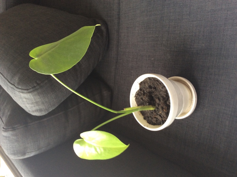 philodendron bouturage Image23