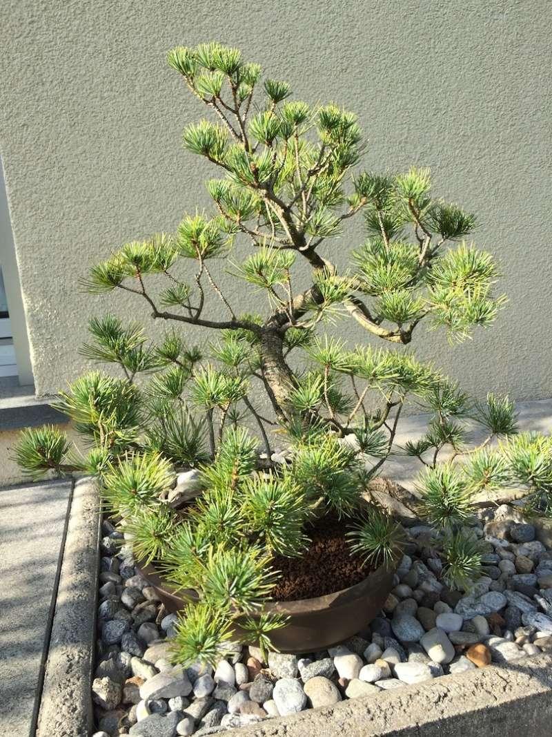 Pino pentaphylla Img_0918