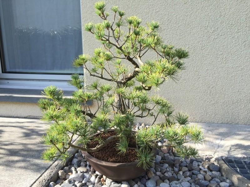 Pino pentaphylla Img_0919