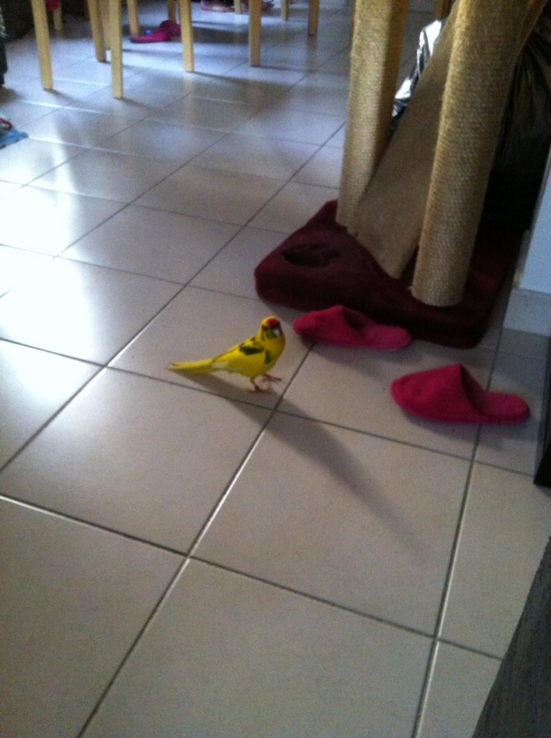 URGENT: Recherche Femelle Kakariki EAM ile de france pour papillonner avec mon mâle Aldo Photo_14