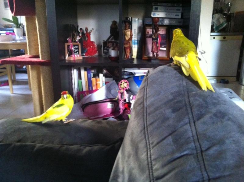 URGENT: Recherche Femelle Kakariki EAM ile de france pour papillonner avec mon mâle Aldo Photo_15