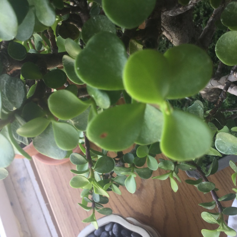 Need help saving a jade tree Image12