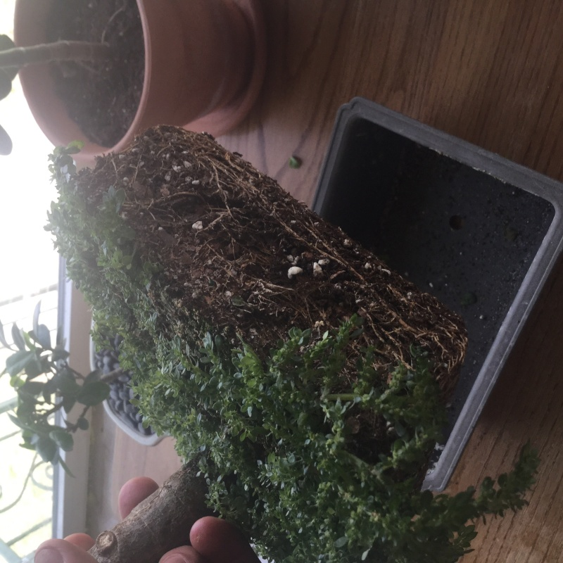 Need help saving a jade tree Image14