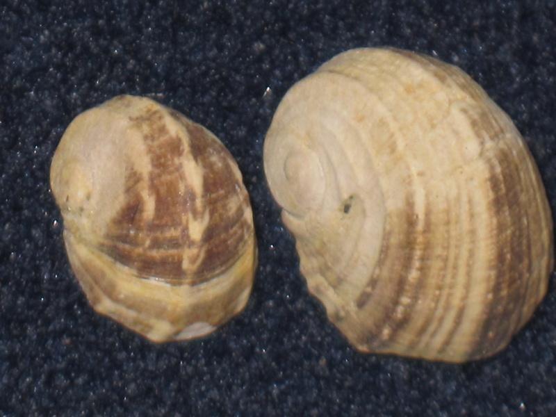 Nerita tricarinata Nerita10