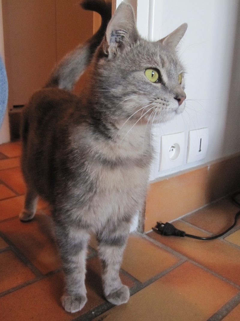 Hanaé, femelle tigrée grise née en 2012  Img_0816