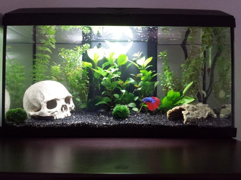 Mon premier Aquarium (54L Communautaire) 20150411