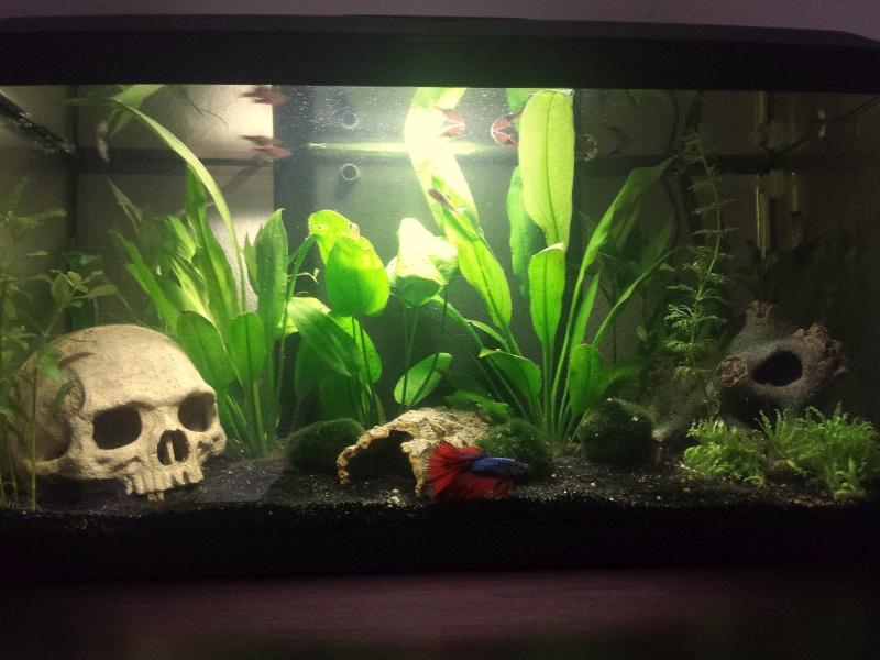 Mon premier Aquarium (54L Communautaire) 20150510