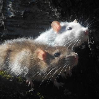 Donne rats Dscn4814